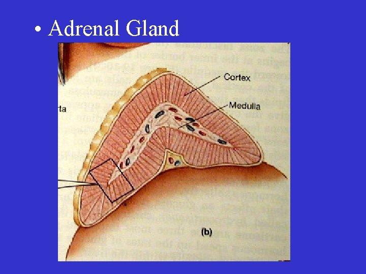 • Adrenal Gland
