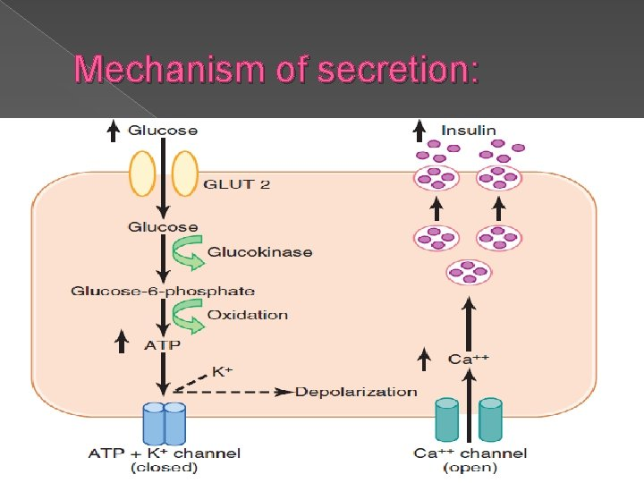 Mechanism of secretion: