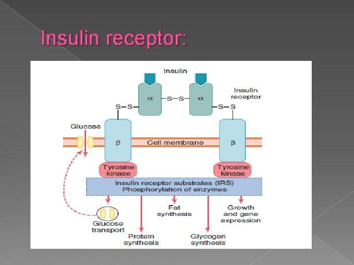 Insulin receptor: