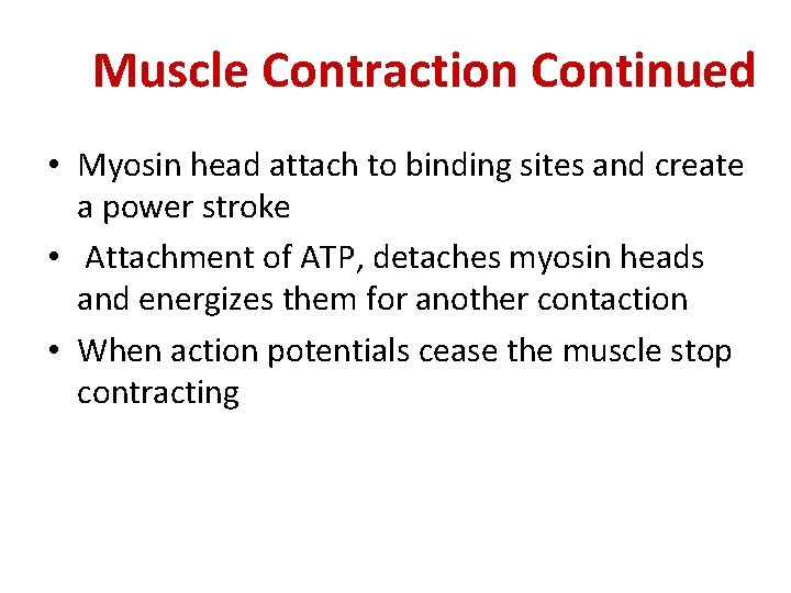 Muscle Contraction Continued • Myosin head attach to binding sites and create a power