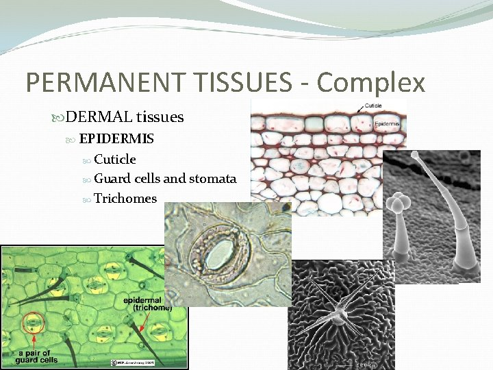 PERMANENT TISSUES - Complex DERMAL tissues EPIDERMIS Cuticle Guard cells and stomata Trichomes
