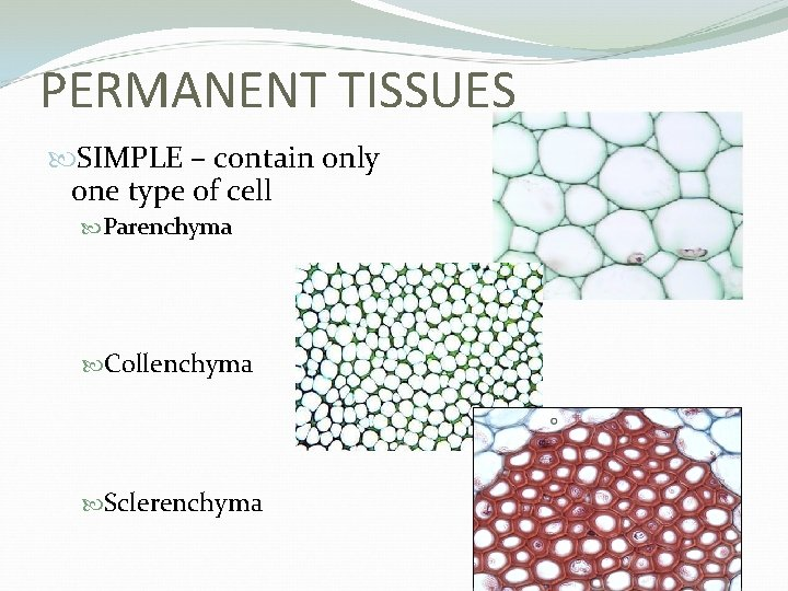 PERMANENT TISSUES SIMPLE – contain only one type of cell Parenchyma Collenchyma Sclerenchyma