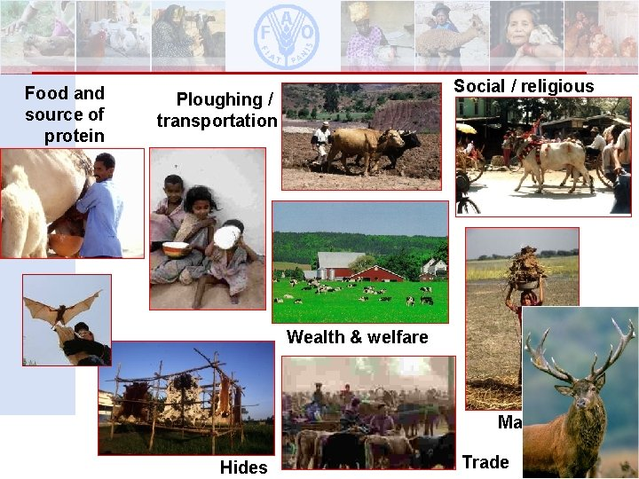 Food and source of protein Social / religious Ploughing / transportation Wealth & welfare