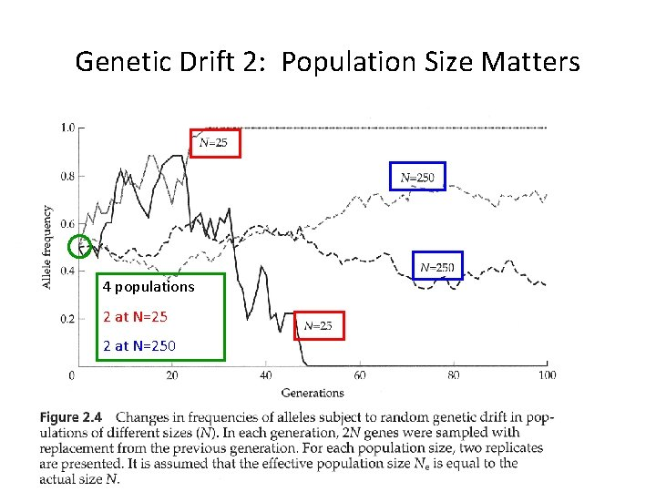 Genetic Drift 2: Population Size Matters 4 populations 2 at N=250