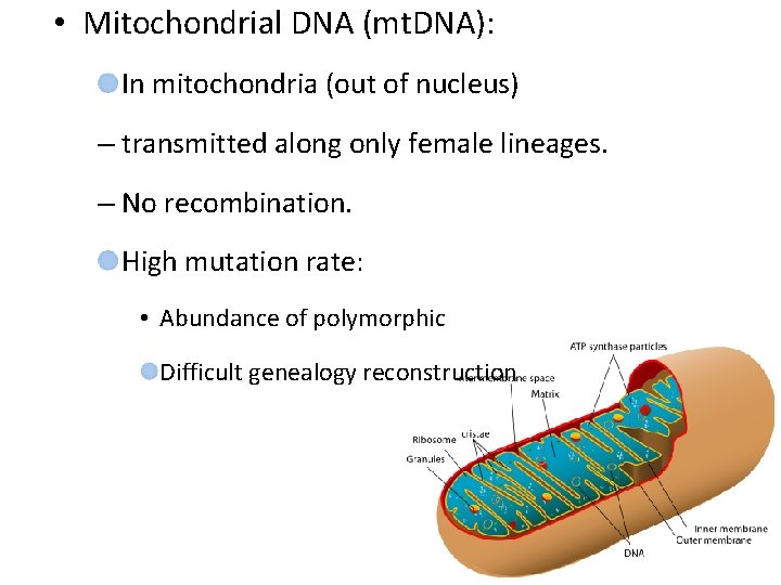 • Mitochondrial DNA (mt. DNA): In mitochondria (out of nucleus) – transmitted along
