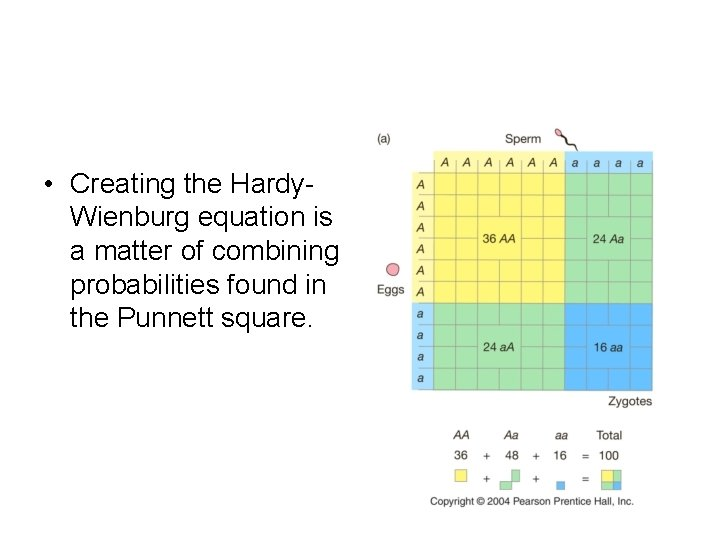 • Creating the Hardy. Wienburg equation is a matter of combining probabilities found