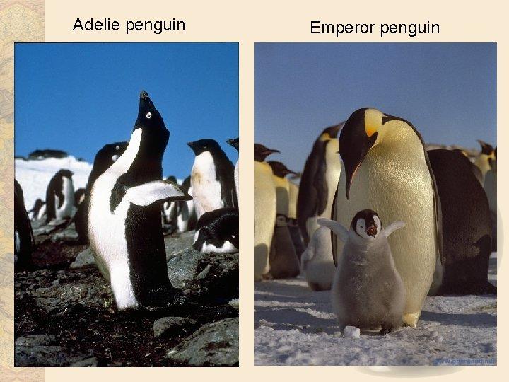 Adelie penguin Emperor penguin