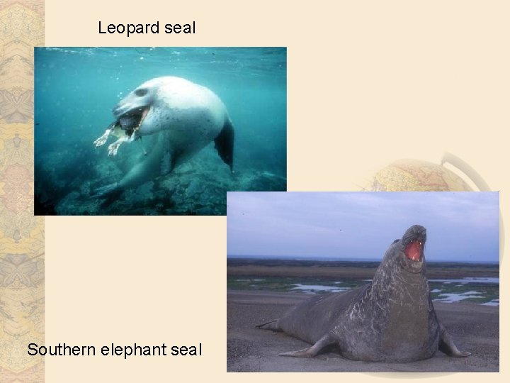 Leopard seal Southern elephant seal