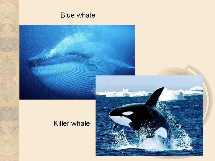 Blue whale Killer whale