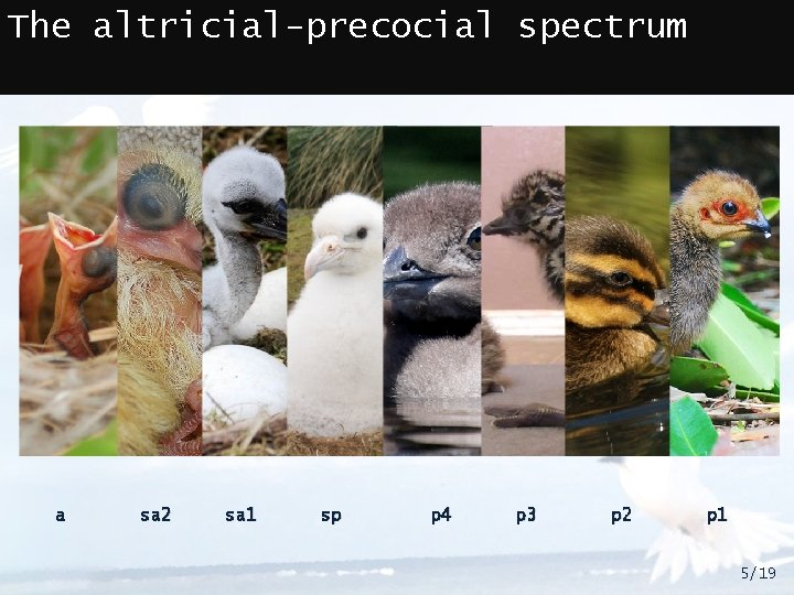 The altricial-precocial spectrum a sa 2 sa 1 sp p 4 p 3 p