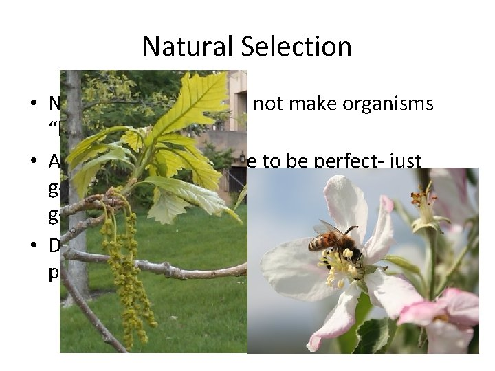 "Natural Selection • Natural selection does not make organisms ""better"" • Adaptations don't have"