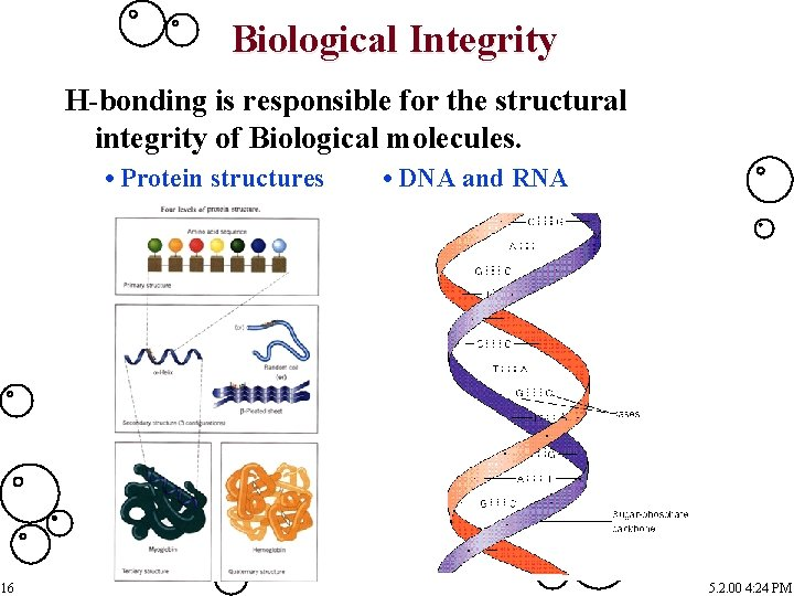 Biological Integrity H-bonding is responsible for the structural integrity of Biological molecules. • Protein
