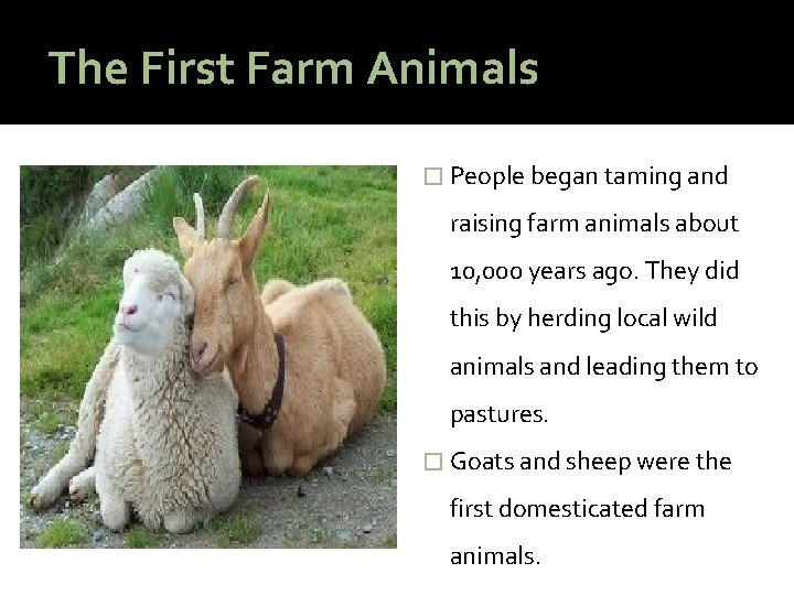 The First Farm Animals � People began taming and raising farm animals about 10,