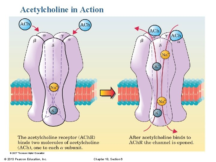 Acetylcholine in Action © 2013 Pearson Education, Inc. Chapter 18, Section 6