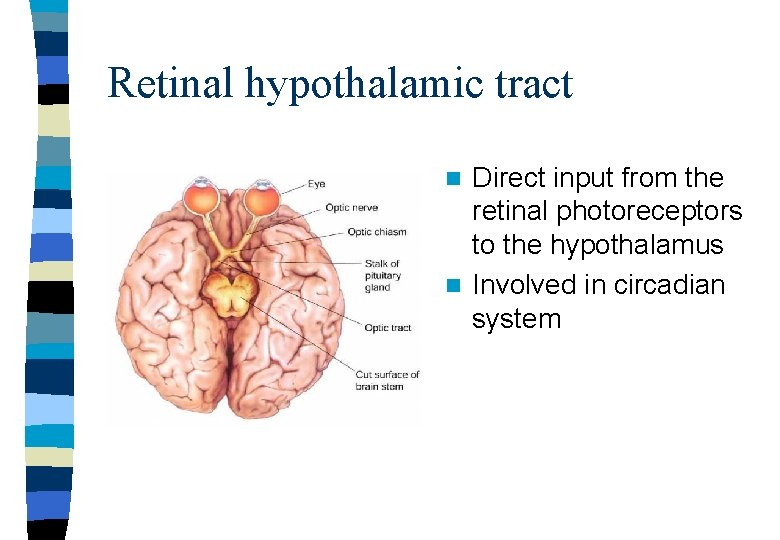 Retinal hypothalamic tract Direct input from the retinal photoreceptors to the hypothalamus n Involved