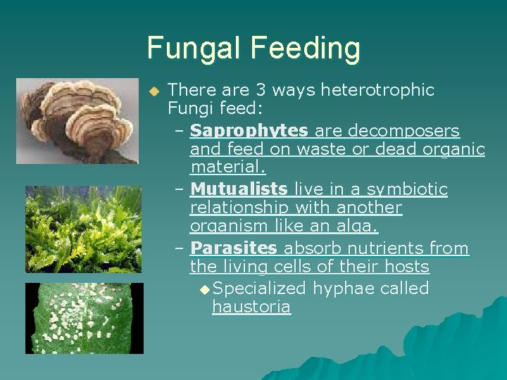 Fungal Feeding u There are 3 ways heterotrophic Fungi feed: – Saprophytes are decomposers