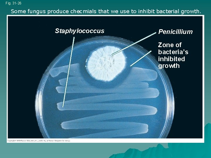 Fig. 31 -26 Some fungus produce checmials that we use to inhibit bacterial growth.