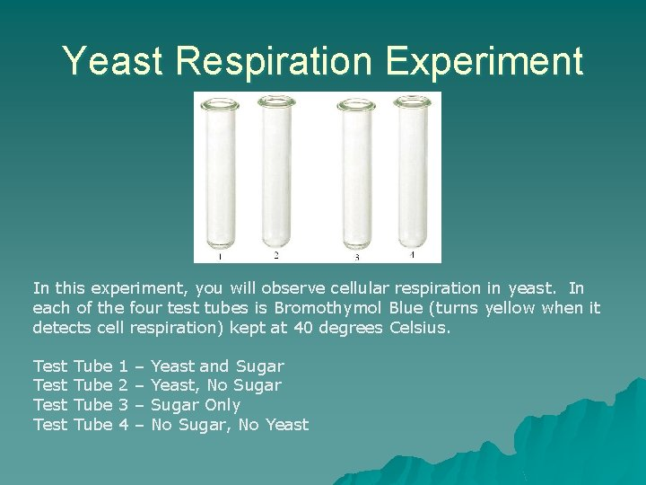 Yeast Respiration Experiment In this experiment, you will observe cellular respiration in yeast. In