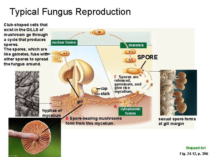 Typical Fungus Reproduction Club-shaped cells that exist in the GILLS of mushroom go through