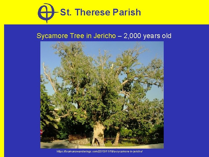St. Therese Parish Sycamore Tree in Jericho – 2, 000 years old https: //bramanswanderings.