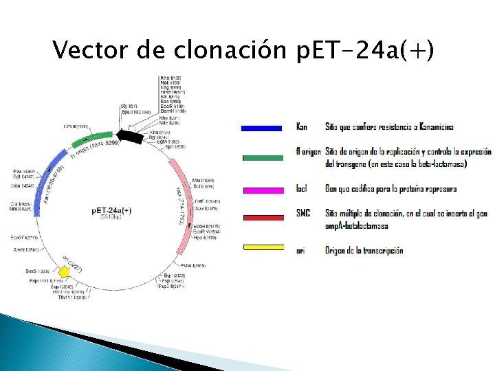 Vector de clonación p. ET-24 a(+)