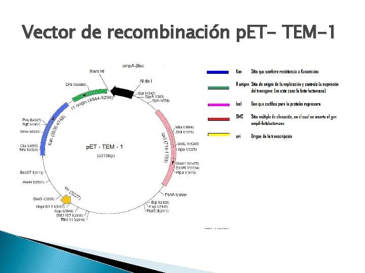 Vector de recombinación p. ET- TEM-1