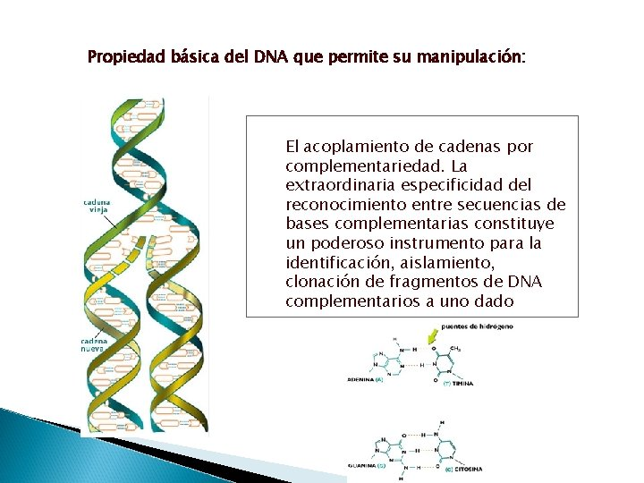 Propiedad básica del DNA que permite su manipulación: El acoplamiento de cadenas por complementariedad.