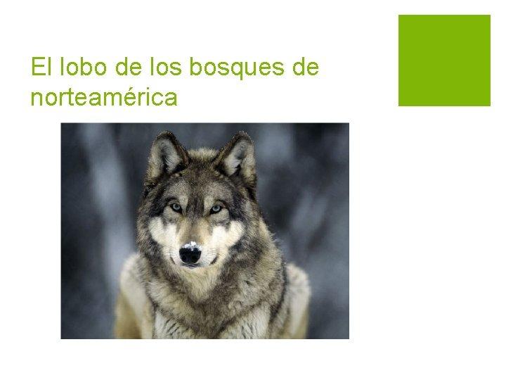 El lobo de los bosques de norteamérica