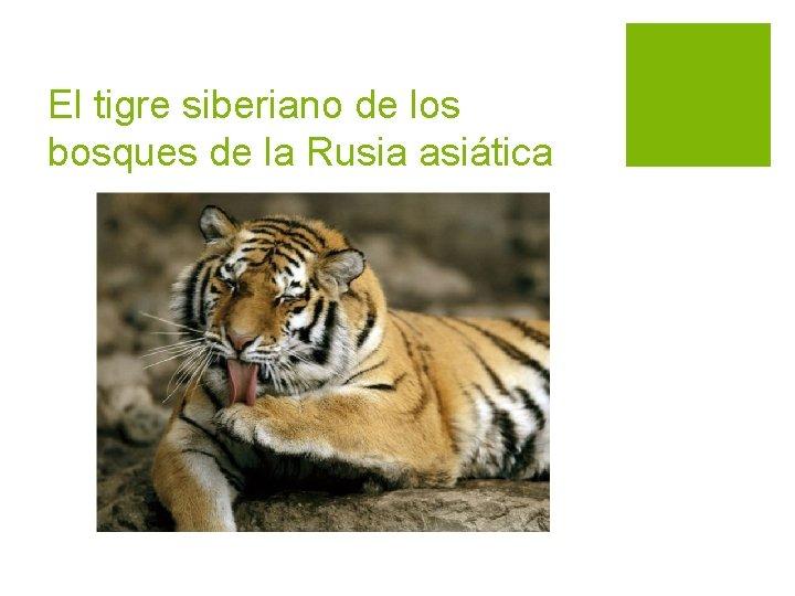 El tigre siberiano de los bosques de la Rusia asiática