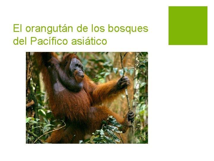 El orangután de los bosques del Pacífico asiático