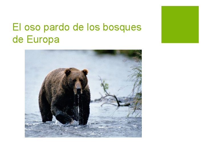 El oso pardo de los bosques de Europa