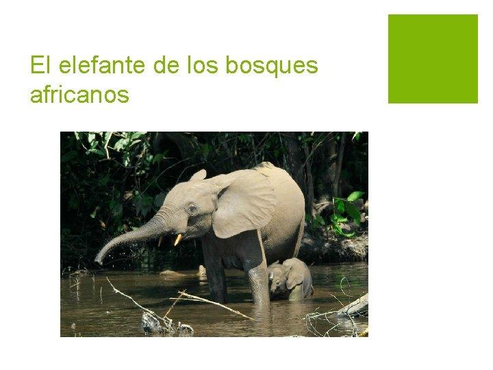 El elefante de los bosques africanos