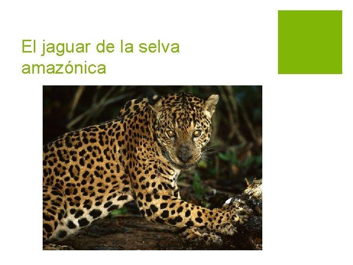 El jaguar de la selva amazónica