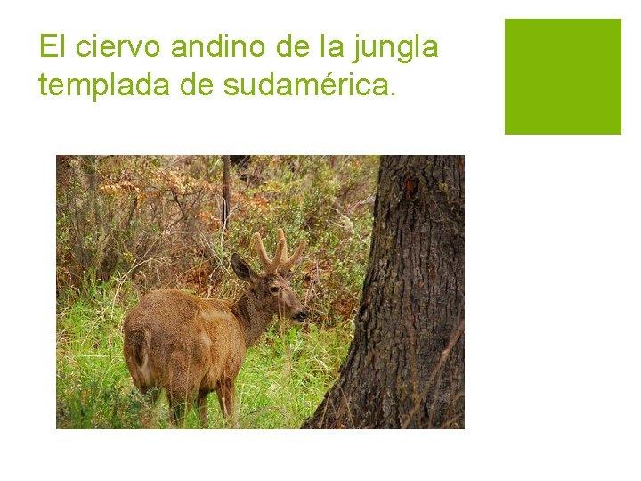 El ciervo andino de la jungla templada de sudamérica.