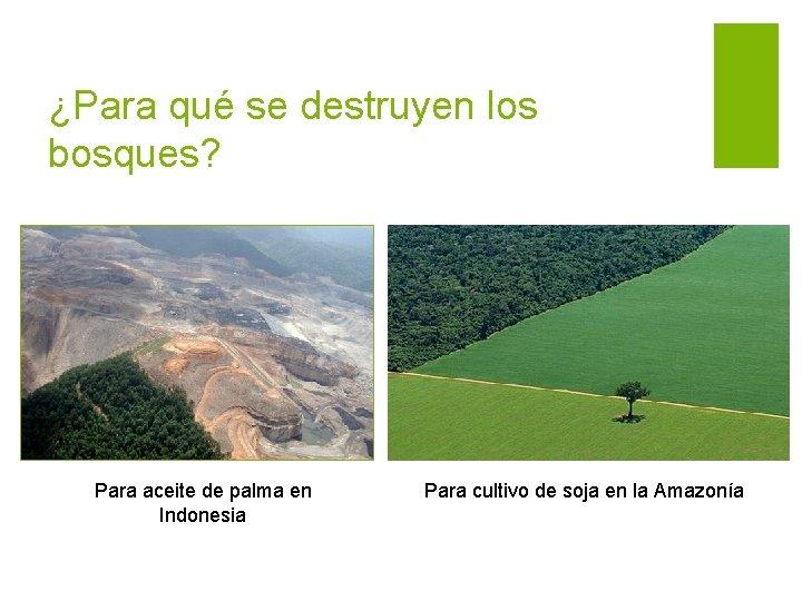 ¿Para qué se destruyen los bosques? Para aceite de palma en Indonesia Para cultivo