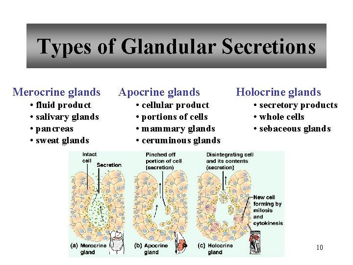Types of Glandular Secretions Merocrine glands • fluid product • salivary glands • pancreas