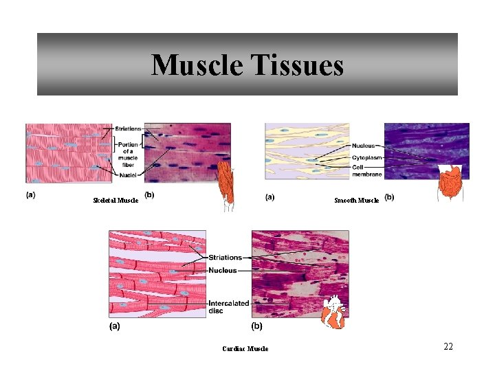 Muscle Tissues Skeletal Muscle Smooth Muscle Cardiac Muscle 22