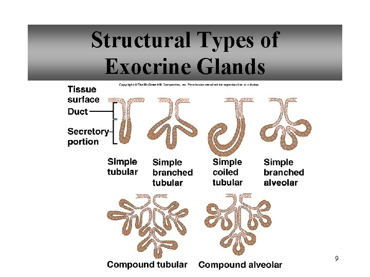 Structural Types of Exocrine Glands 9