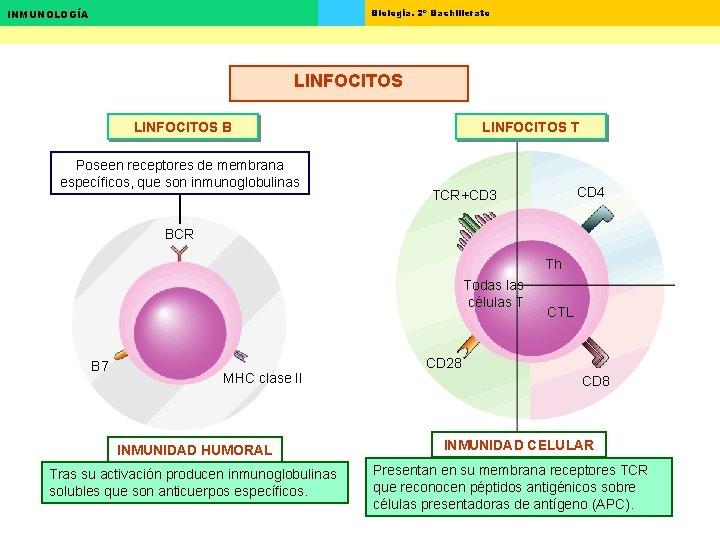 Biología. 2º Bachillerato INMUNOLOGÍA LINFOCITOS B Poseen receptores de membrana específicos, que son inmunoglobulinas