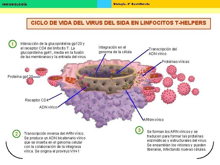 Biología. 2º Bachillerato INMUNOLOGÍA CICLO DE VIDA DEL VIRUS DEL SIDA EN LINFOCITOS T-HELPERS