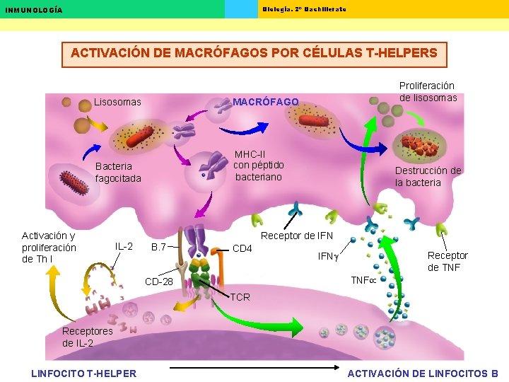 Biología. 2º Bachillerato INMUNOLOGÍA ACTIVACIÓN DE MACRÓFAGOS POR CÉLULAS T-HELPERS Lisosomas MACRÓFAGO Bacteria fagocitada