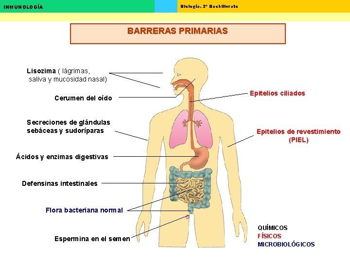 Biología. 2º Bachillerato INMUNOLOGÍA BARRERAS PRIMARIAS Lisozima ( lágrimas, saliva y mucosidad nasal) Cerumen