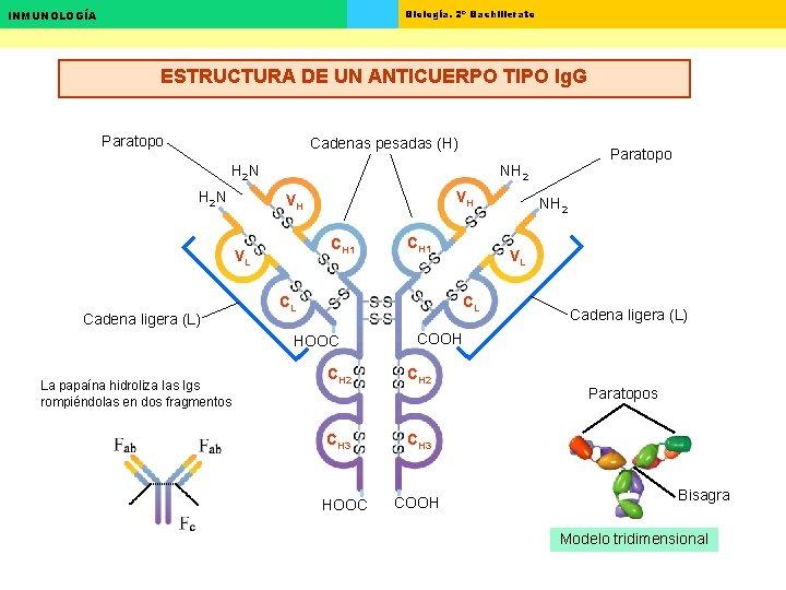 Biología. 2º Bachillerato INMUNOLOGÍA ESTRUCTURA DE UN ANTICUERPO TIPO Ig. G Paratopo Cadenas pesadas