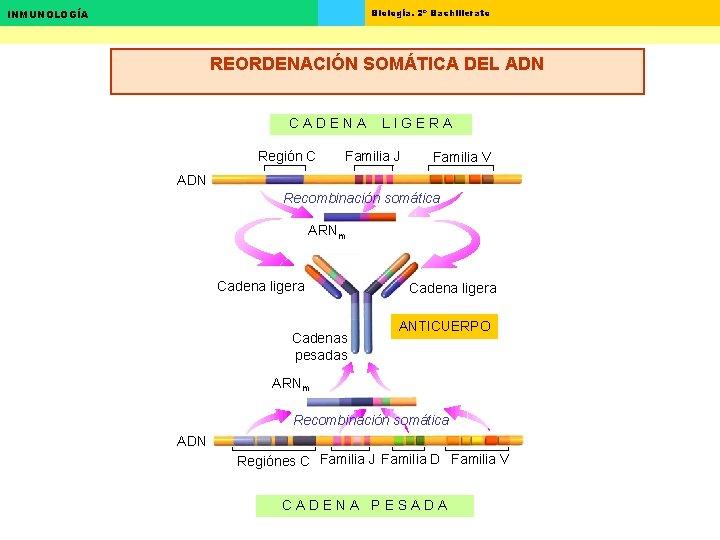 Biología. 2º Bachillerato INMUNOLOGÍA REORDENACIÓN SOMÁTICA DEL ADN CADENA Región C LIGERA Familia J