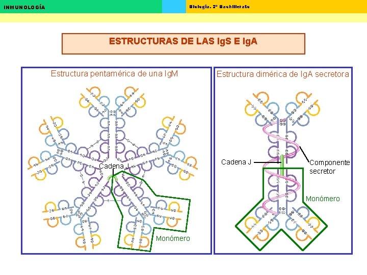 Biología. 2º Bachillerato INMUNOLOGÍA ESTRUCTURAS DE LAS Ig. S E Ig. A Estructura pentamérica