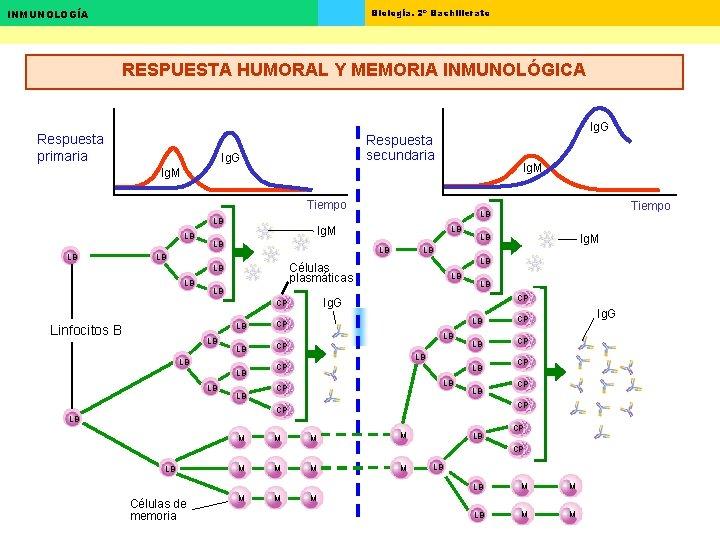 Biología. 2º Bachillerato INMUNOLOGÍA RESPUESTA HUMORAL Y MEMORIA INMUNOLÓGICA Respuesta primaria Ig. G Respuesta