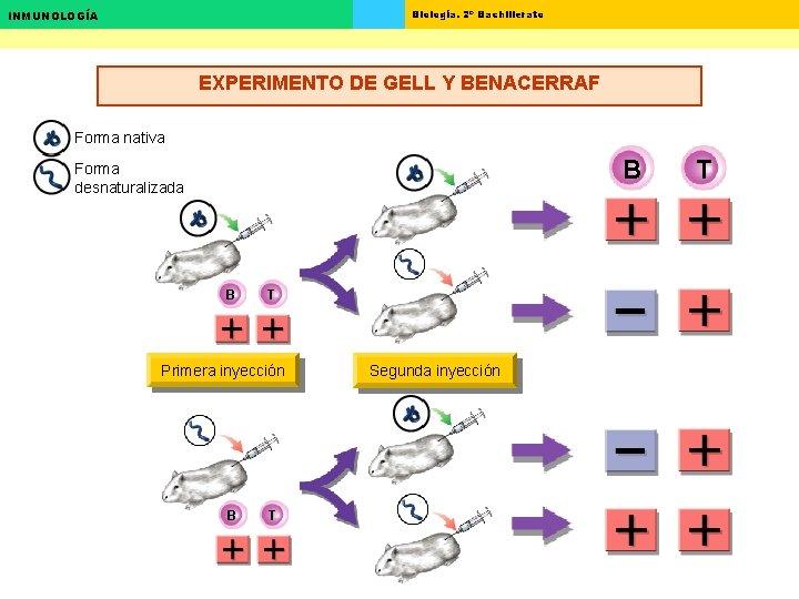 Biología. 2º Bachillerato INMUNOLOGÍA EXPERIMENTO DE GELL Y BENACERRAF Forma nativa B Forma desnaturalizada