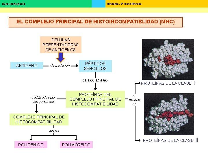Biología. 2º Bachillerato INMUNOLOGÍA EL COMPLEJO PRINCIPAL DE HISTOINCOMPATIBLIDAD (MHC) CÉLULAS PRESENTADORAS DE ANTÍGENOS