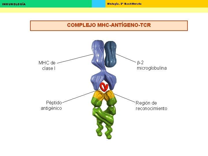 Biología. 2º Bachillerato INMUNOLOGÍA COMPLEJO MHC-ANTÍGENO-TCR MHC de clase I Péptido antigénico b-2 microglobulina