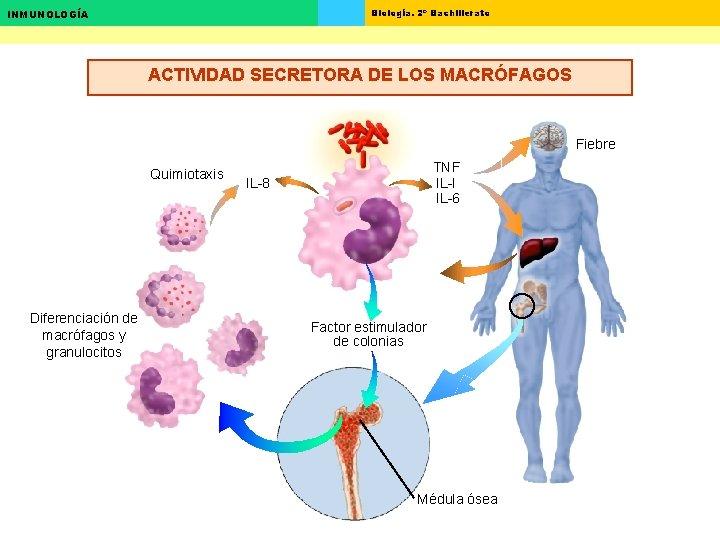 Biología. 2º Bachillerato INMUNOLOGÍA ACTIVIDAD SECRETORA DE LOS MACRÓFAGOS Fiebre Quimiotaxis Diferenciación de macrófagos